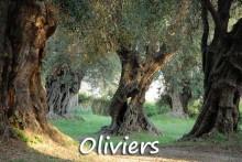 Paysage-d'Oliviers-7-Fotoli