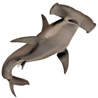 Requin-Marteau-Fotolia_6607