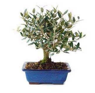olea-bonsai
