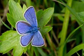 Azuré-Bleu-céleste-Fotolia_