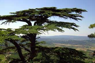 Cèdre-en-Provence-Fotolia_3
