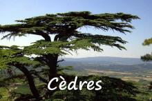 Cèdre_7--Bonnieux_Fotolia_3