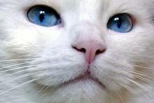 Chat-blanc-aux-yeux-bleus