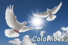 Colombes_Fotolia_13256877