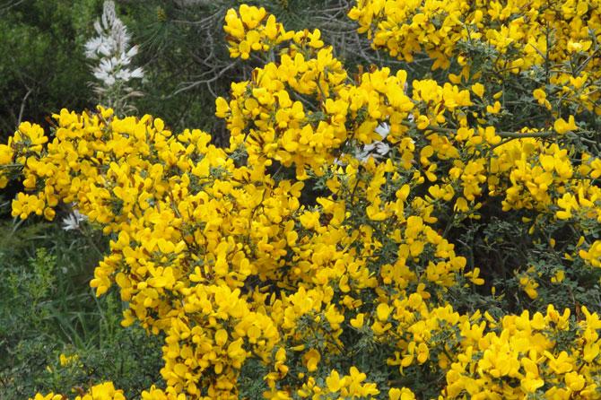 Fleurs jaunes en provence provence 7 - Arbuste fleurs jaunes printemps ...