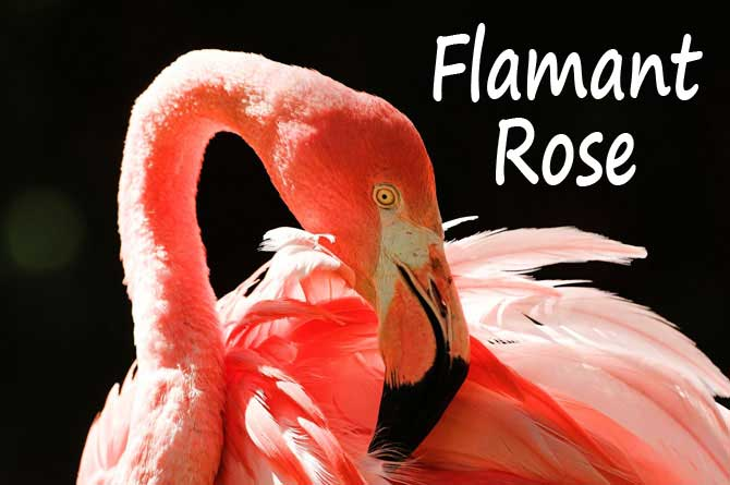 Flamants roses en provence provence 7 - Flamant rose camargue ...