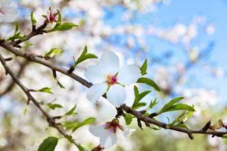 Fleurs-Amandier-Fotolia_616