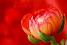 Fleurs-Rouges-Fotolia_70860