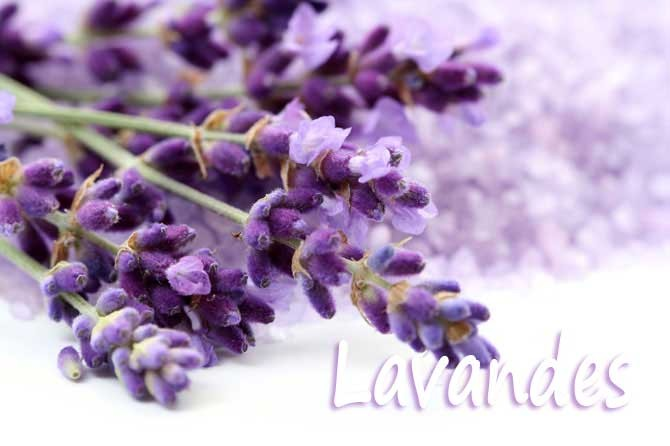 Provence 7. Lavande, Fleur de Provence