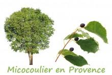 Micocoulier-7_Fotolia_17759