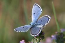 Papillon_bleu_Fotolia_30574