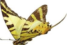 Papillon_graphium