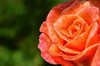 Rose-Orange-Fotolia_6941975