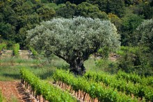 Vignobles_Provence_Fotolia_