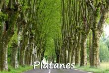 Platanes-7_Fotolia_53724471
