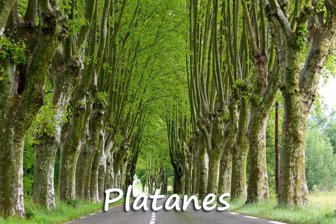 Platane en provence provence 7 - Arbre provencal ...