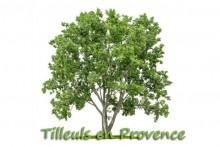 Tilleul_7-Fotolia_53803405