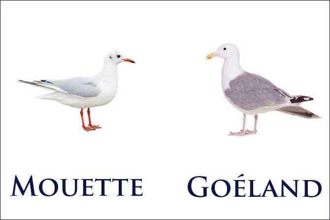 """Résultat de recherche d'images pour """"images goéland et mouette"""""""