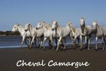 Chevaux-Camargue-1B--Fotoli