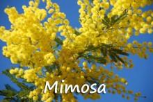 Mimosa-7-Fotolia