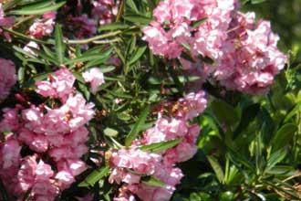 Laurier-Rose-Verlinden