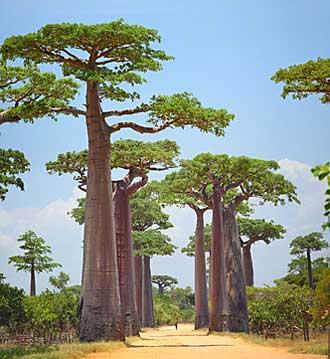 Baobab-Fotolia_61076694