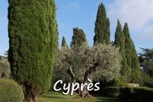 Cyprès-et-olivier