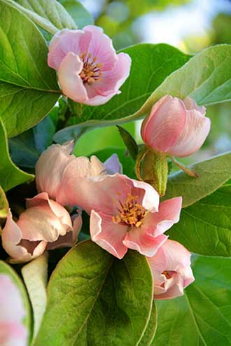 Fleurs-Coing-Fotolia_110495