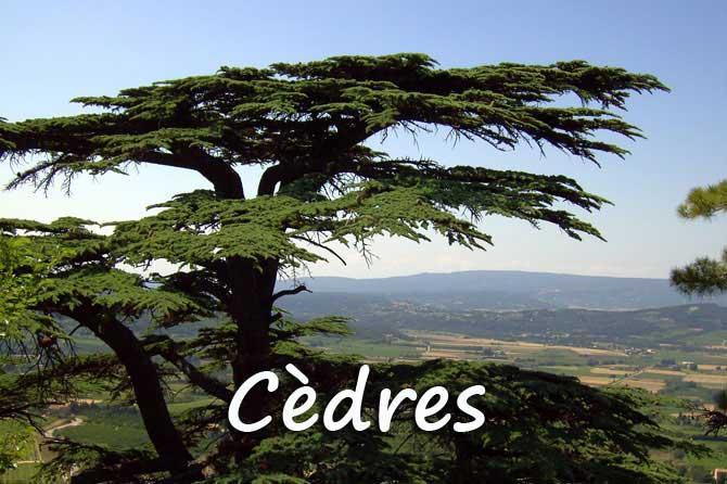 C dre en provence provence 7 - Cedre bleu du liban ...