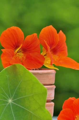 Capucine-orange-Fotolia_697