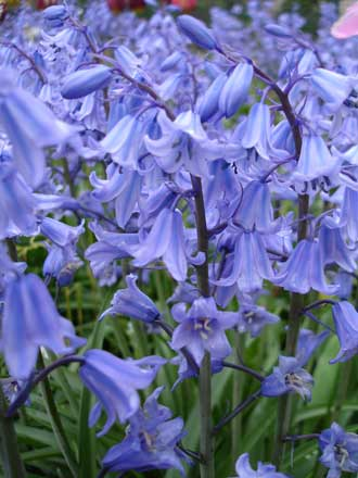 Clochettes-bleues-des-bois-