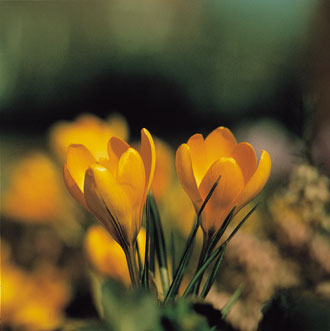 Crocus-Agiile-Rabbit