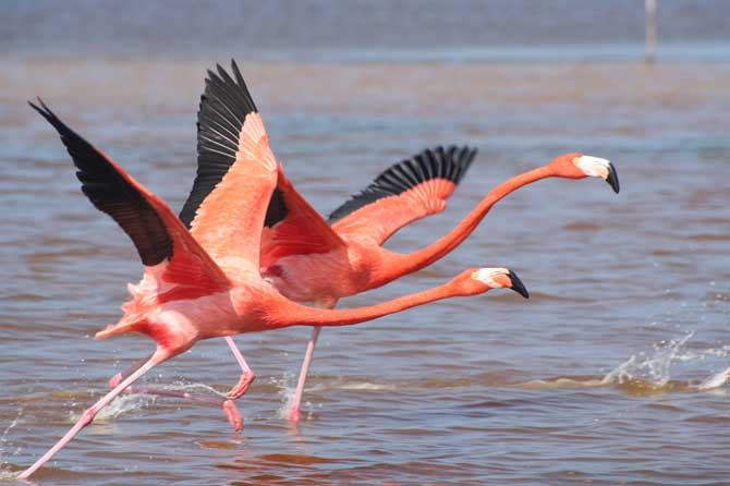 Flamants-Roses-envol-Fotoli