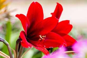 Fleur-Rouge-1-Fotolia_10043