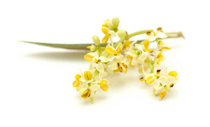 Fleur-d'olivier-Fotolia