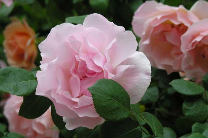 Fleurs-Roses-4.-P-Verlinden