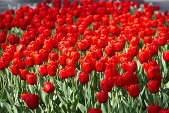 Fleurs-Rouges-3-Fotolia_111