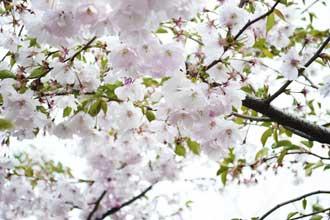 Fleurs-cerisier-Fotolia_900