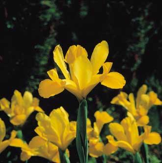 Iris-2-Tashen