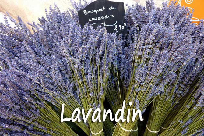 Lavandin en provence provence 7 - Entretien de la lavande ...