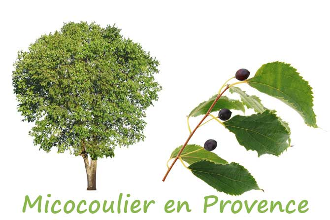 Micocoulier en provence provence 7 - Arbre provencal ...