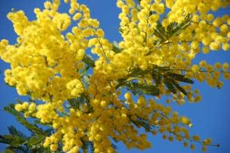 Mimosa-Fotolia_2264249