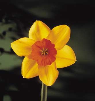 Narcisse.-Tashen