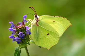 Papillon-Citron-Fotolia_518