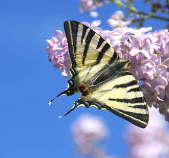 Papillon-Flambé-Fotolia_139