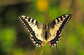 Papillon-Machaon-Fotolia_53