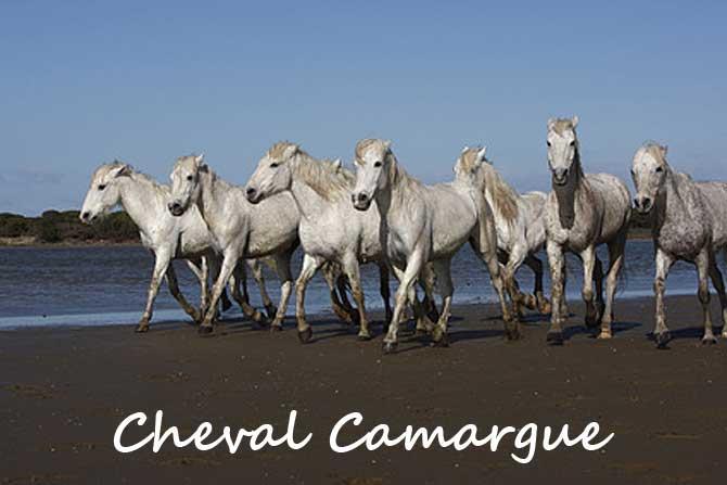 Cheval Camargue