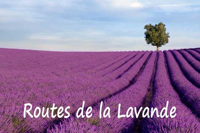 L'historiette du jour - Page 37 Route-de-la-lavande_Lavande
