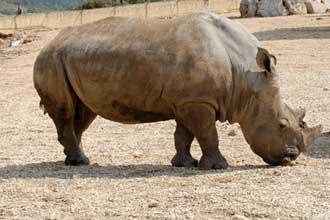 La-Barben.-Rhinocéros-Fotol
