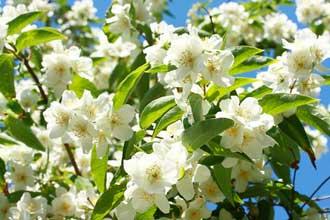Fleur-de-Jasmin-Fotolia_637